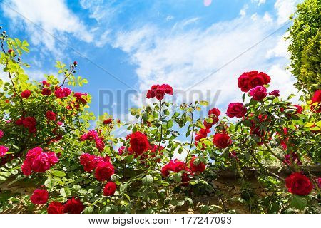 Beautiful rose bush against blue sky with clouds background with copy space