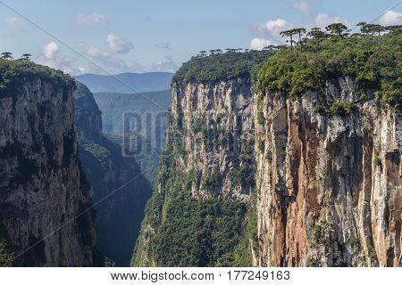 Araucaria Angustifolia At Itaimbezinho Canyon