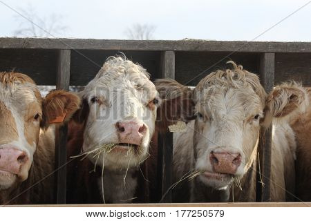 Cows with head between wooden struts of fence on holding pen, mouth full of straw