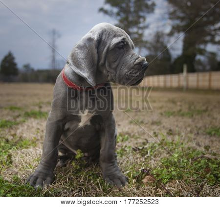 Purebred Gray Great Dane puppy sitting on a fall field