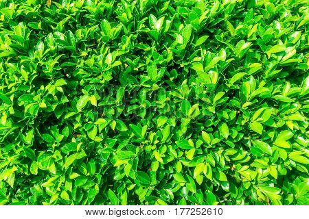 Natural geen leaf of tree wood texture pattern background