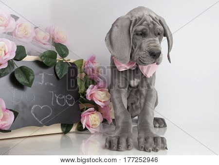 Purebred Great Dane puppy with flowers and message of love on a chalkboard