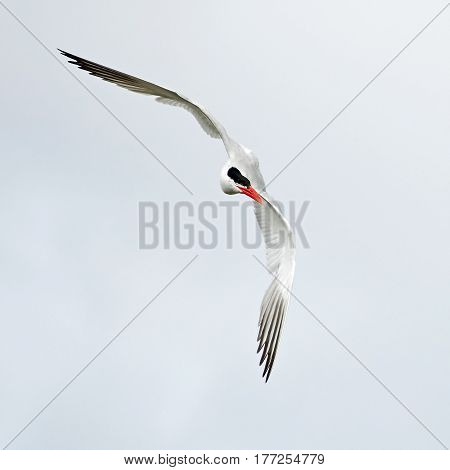 Caspian tern in flight isolated on a white background