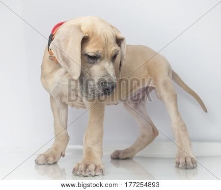 Purebred Great Dane puppy that is beige in color on a white background