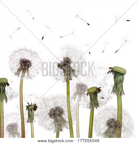 group of old dandelions isolated on white background