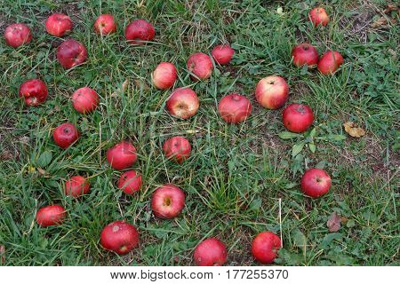 Ripe apples on the grass at harvest in autumn. Ripe apples on grass