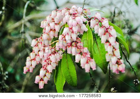British Columbia,Canada-March 21 2017: Pink flower Buds, A close up of pink flower buds in early spring.located in the front of the house Vancouver,BC Canada.