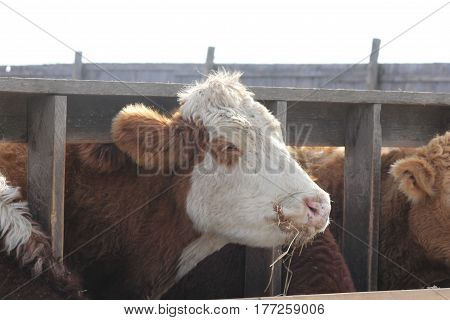 Cow with head (side view) between wooden struts of fence on holding pen, mouth full of straw