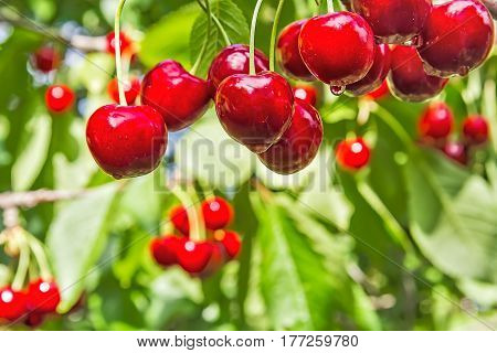 Ripe red berries of a sweet cherry with water drops on a branch in a garden in the summer rain macro. Selective focus