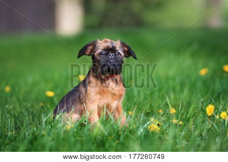 brussels griffon puppy posing outdoors in summer