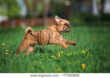 happy brussels griffon dog running on grass