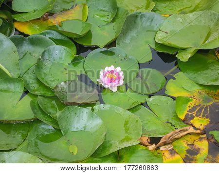 Lotus Flower, Marimutra, Catalonia, Spain