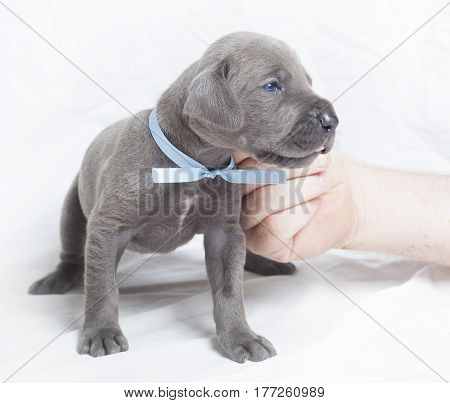 Three week old purebred Great Dane puppy being itched