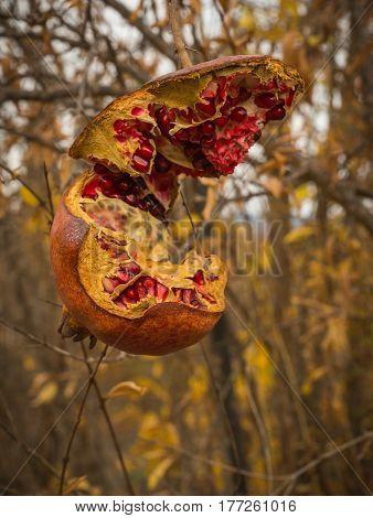Cracked Ripe Pomegranate, Livadia, Greece