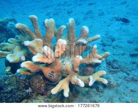 The surprising underwater world of the Bali basin, Island Bali, Lovina reef, stone coral