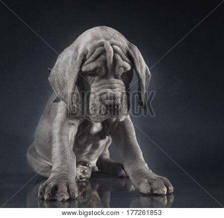 Purebred blue Great Dane puppy on a simple dark background