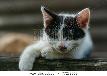 Cute Kitten Cat With Green Eyes And Furry Coat