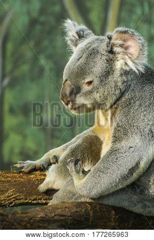 Sitting Koala, Madrid, Spain