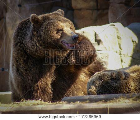 """Surprised Bear """"who, me?"""" in Madrid, Spain"""