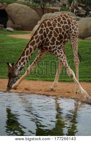 Image of drinking giraffe in spanish zoo