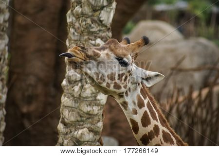 Image of giraffe with protruding tongue in spanish zoo