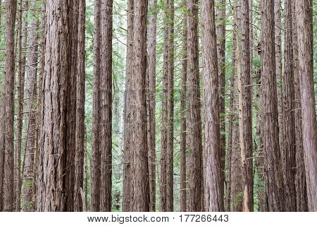 Redwood trees in Muir Woods National Monument, Mill Valley, California, USA
