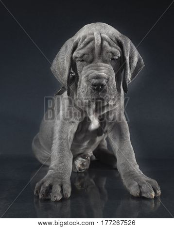 Blue Great Dane purebred puppy with a lot of wrinkles on its face