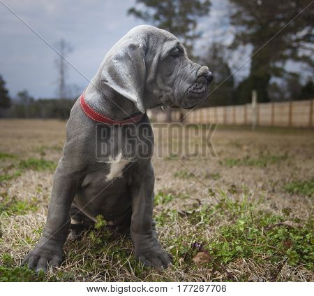 Purebred blue Great Dane puppy sitting on a late fall field
