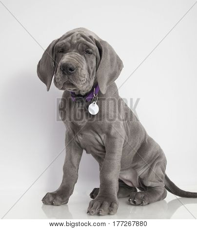 Gray Great Dane puppy sitting nicely on a white background