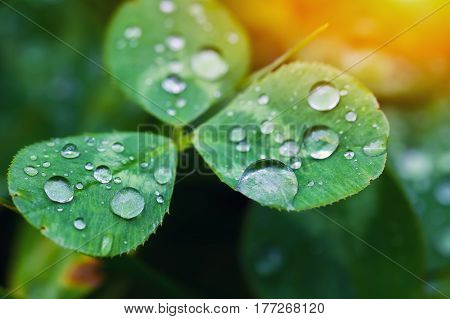 Morning dew on the plant in soft focus. Shallow depth of field.