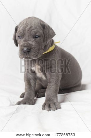 Blue Great Dane purebred puppy on a white background