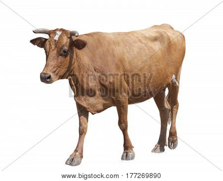 brown going cow isolated on white background