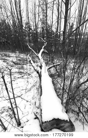 Large tree cut down and lying in a forest covered with winter snow after a storm black and white