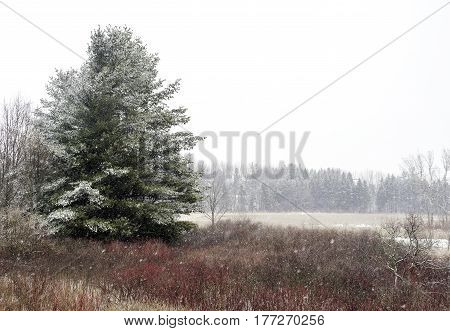 Large winter pine tree covered in snow to the left of a red and white winter landscape space for text