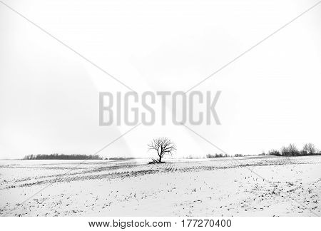 Lone tree in a snow covered field illuminated by a ray of sun in an otherwise white winter landscape