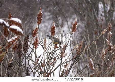Beautiful robin red breast bird perched in red winter branches during a snow fall looking for food