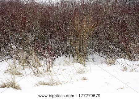 Red and orange winter foliage and yellow grasses covered in a fresh winter snow space for text