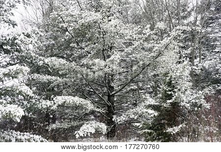 Beautiful large fir tree covered in a heavy winter snow high contrast branches and thick wooded wilderness