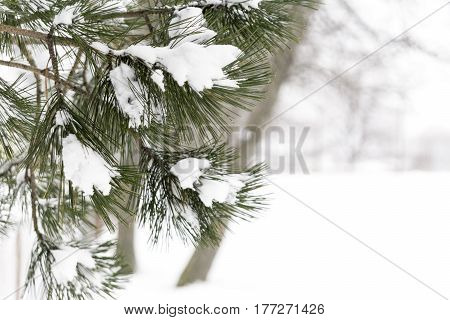 Snow covered pine branches on left side white landscape background with space for text