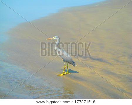 Grey Heron on the sandy beach during high tide. Goa.