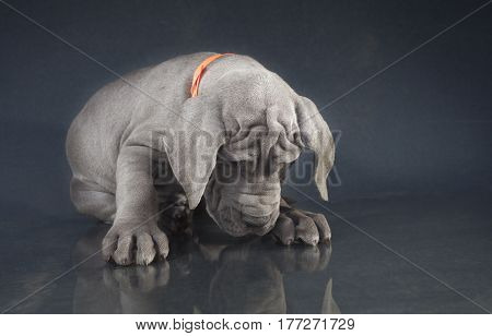 Purebred Blue Great Dane puppy that looks like it is bowing down