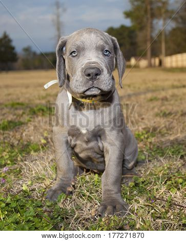 Purebred Great Dane puppy that is sitting on a grassy field