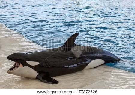 Orca Whale, Killer Whale Outside Pool