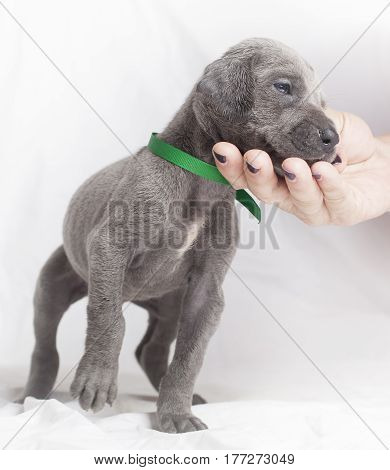 Purebred Great Dane puppy leaning into a human hand for affection