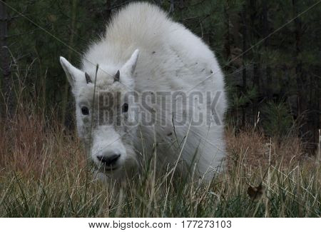 a baby mountain Goat in the woods