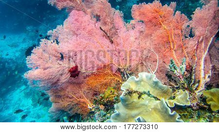 Lilac Colorful soft coral reef and diver in Raja Ampat, Indonesia.