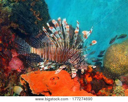 The surprising underwater world of the Bali basin, Island Bali, Lovina reef, scorpionfish