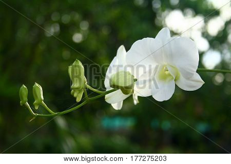 The white orchid flower in nice evening.