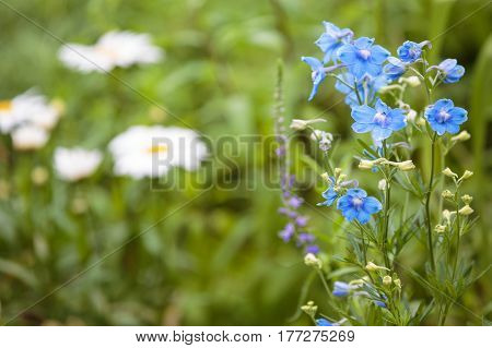 Blooming blue flowers in the spring. Small depth of field