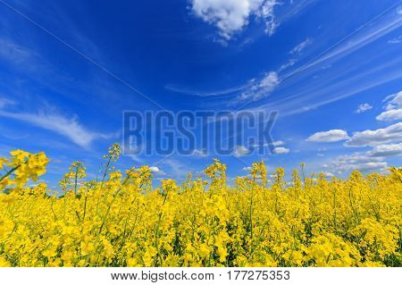 Blooming field of rape in spring on a sunny day